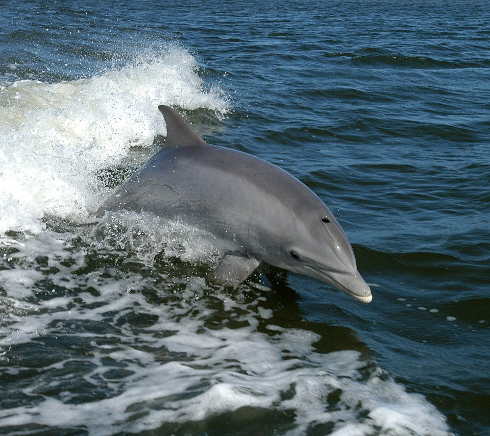 壁紙 イルカのスマホ壁紙960x854 Dolphin 001 Jpg 壁紙box