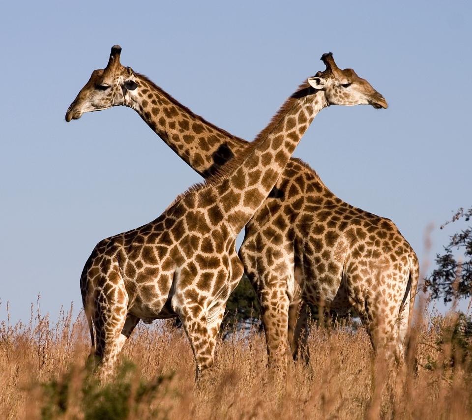 壁紙 キリンのスマホ壁紙960x854 Giraffe 001 Jpg 壁紙box