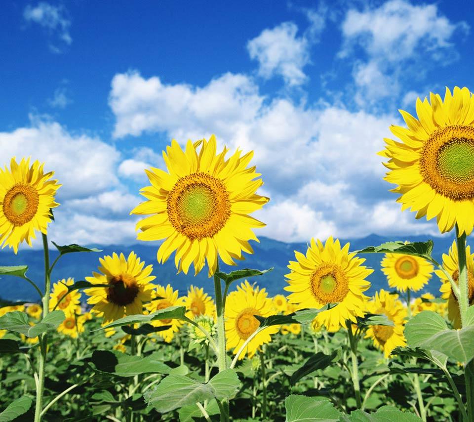 壁紙 ヒマワリのスマホ壁紙960x854 Sunflower 008 Jpg 壁紙box