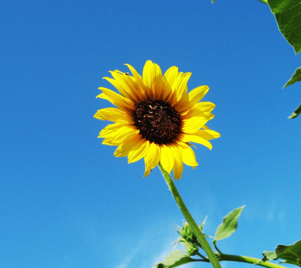 壁紙 ヒマワリのスマホ壁紙960x854 Sunflower 009 Jpg 壁紙box